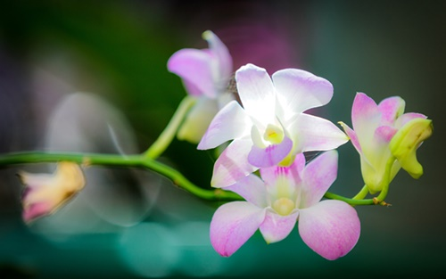 orchid-flowers-wallpapers-by-twalls-(1).jpg