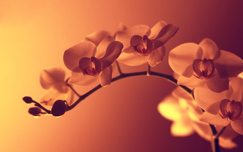 orchid-flowers-wallpapers-by-twalls-(3).jpg
