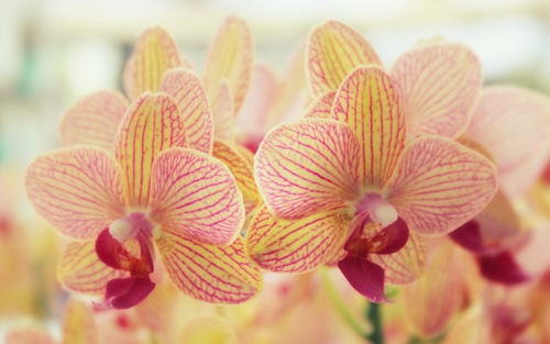 orchid-flowers-wallpapers-by-twalls-(4).jpg