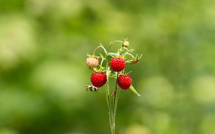 strawberry-wallpaper-(108)-by-twalls.jpg