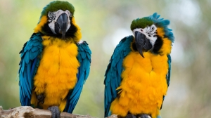 Blue-and-Yellow Macaws II