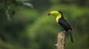Toucan wallpapers by Telasm